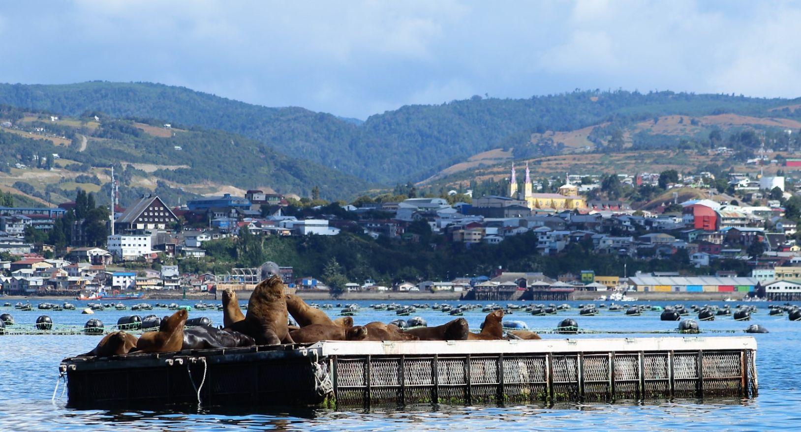 Fundación Chinquihue asesoró a pescadores artesanales de Calbuco que ganaron concurso para mitigar interacción del lobo marino